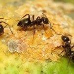 Black_Garden_Ant_tending_Citrus_Mealybug_(16063538972)