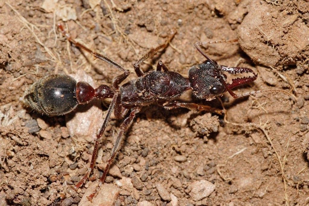 Bulldog Ants