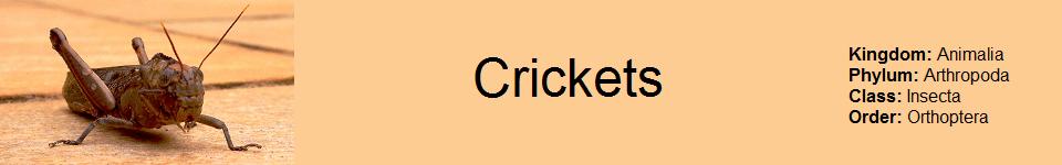 Cricket 960 x 150