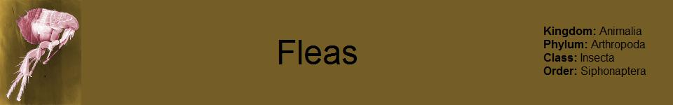 Flea 960 x 150