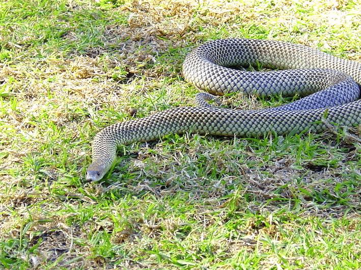how to avoid snakes in austraila