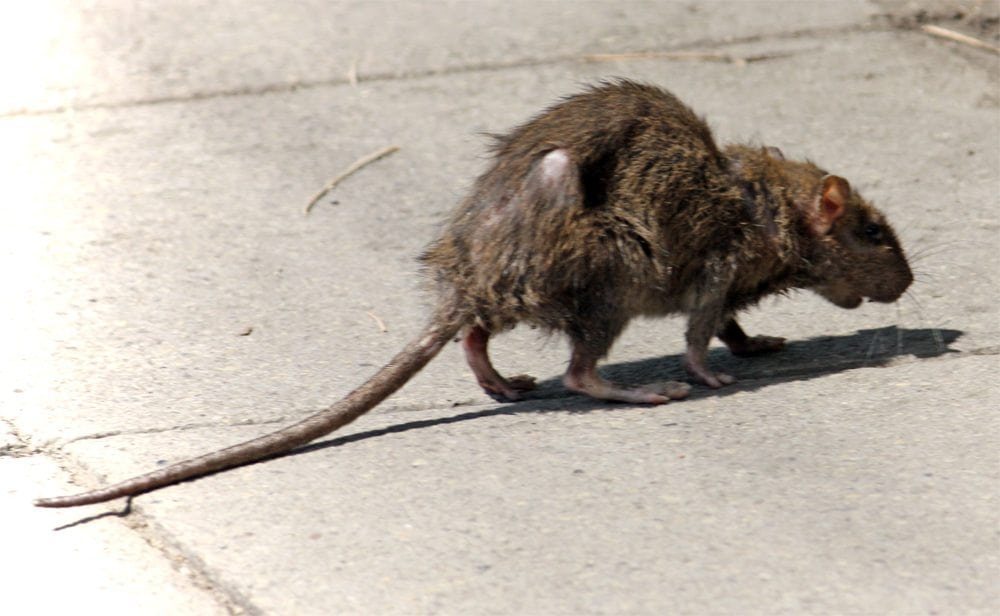Rat in a City Street