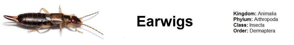 Earwig 960 x 150