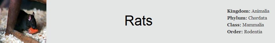 Rat 960 x 150