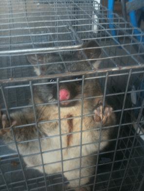 Possum caught in cage
