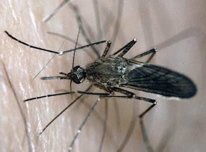 Mosquito's