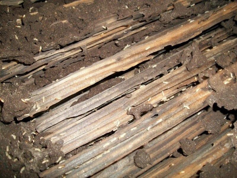 drywood-termite-habitat