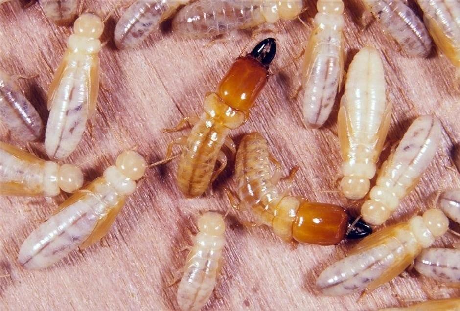 ringant-termite