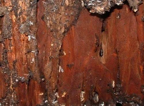 schedorhinotermes-intermedius-habitat