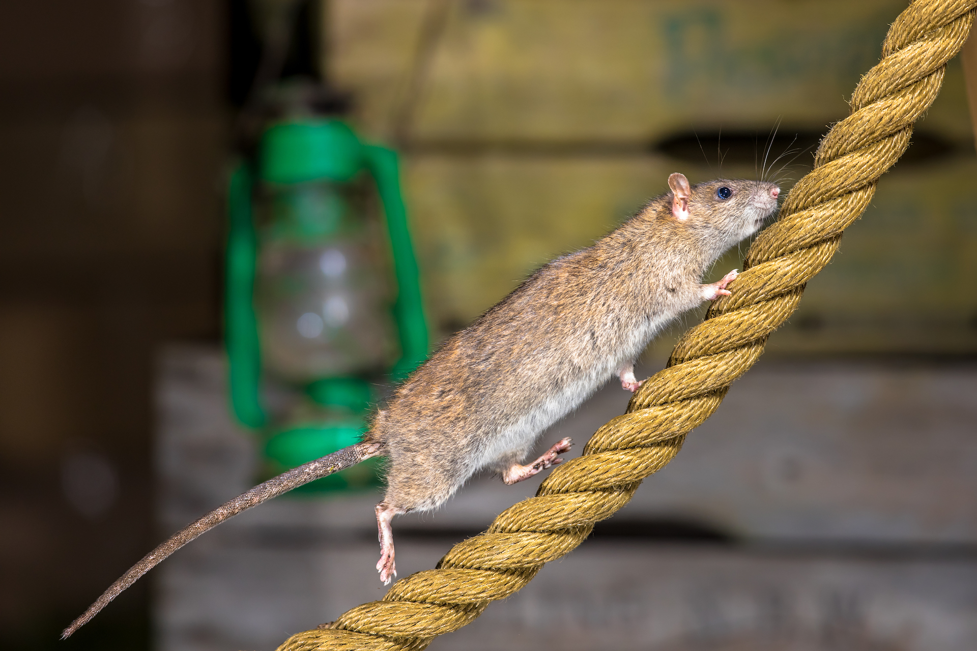 Rodent escaping during commercial pest control
