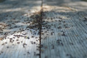 group of dead ants on the wooden floor after ant control by professional